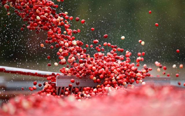 01_Cranberry_Harvest