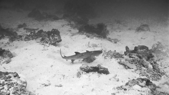 whitetip_reef_shark_triaenodon_obesus_img_2434